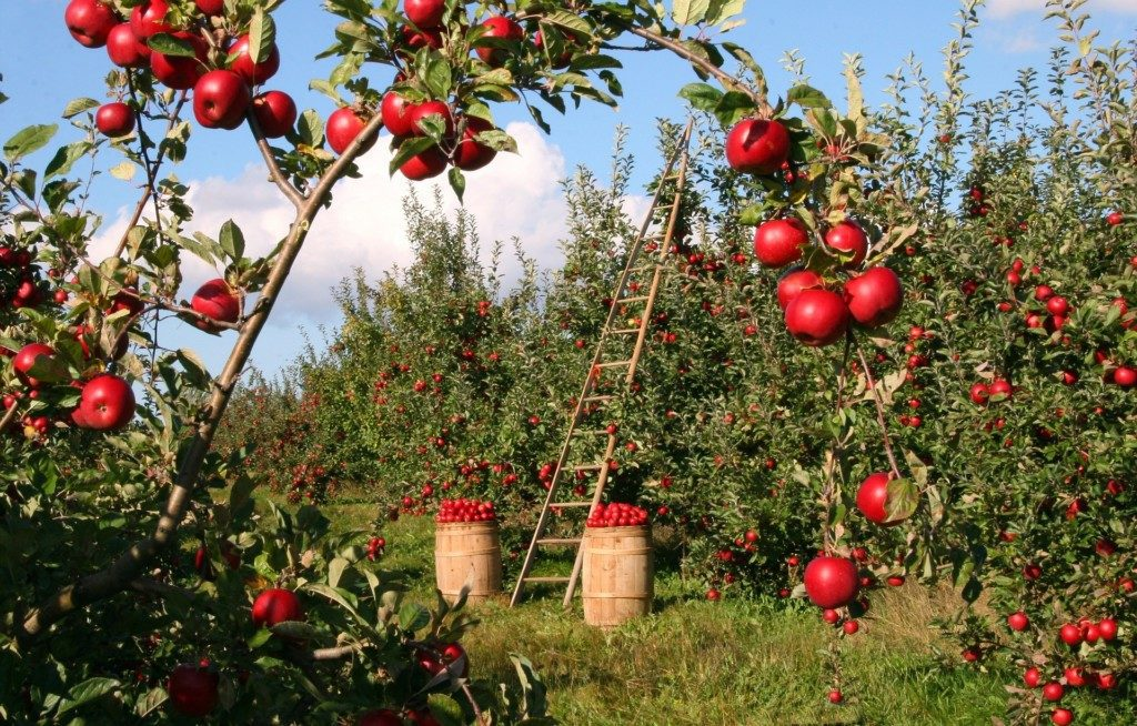 Image result for apple picking