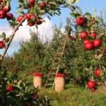 Apple Picking in Rhode Island and Over the Border in Massachusetts!