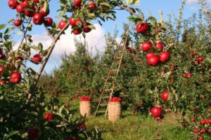 Providence Moms Blog Apple Picking in Rhode Island and Over the Border in Massachusetts!