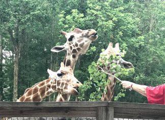 giraffes at Southwick Zoo Zoofari