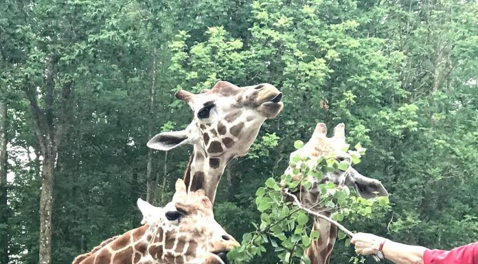 giraffes at Southwick Zoo Zoofari